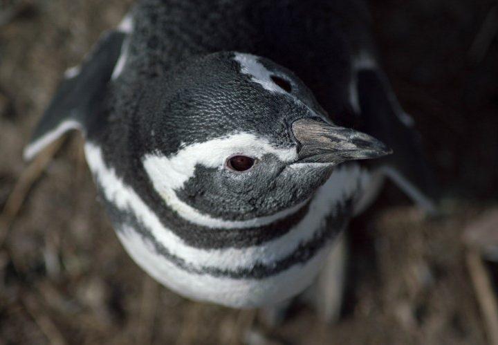 A Magellanic penguin looks up at the camera in Punta Tumbo, Argentina.
