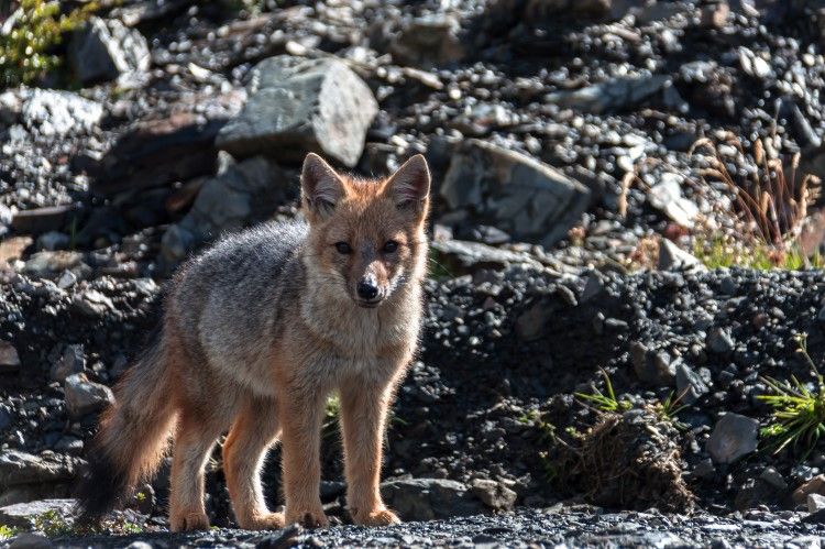 A Patagonian fox spotted in Tierra del Fuego, Chile.