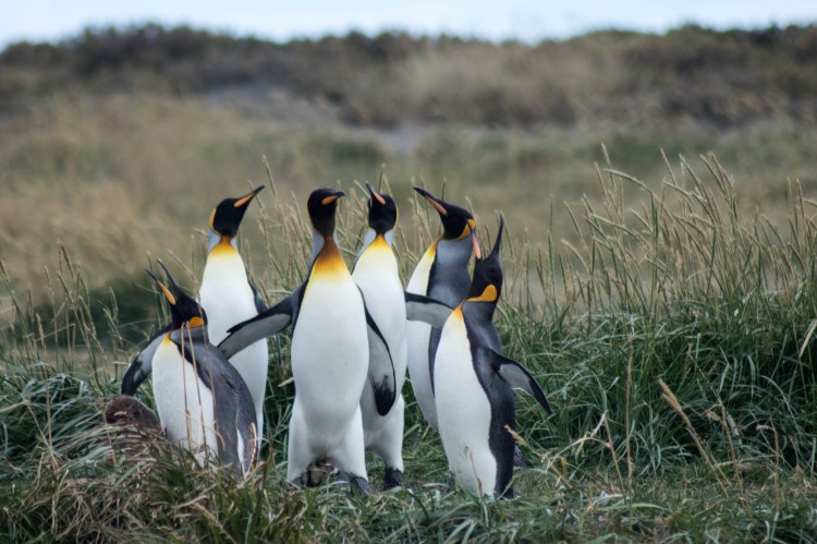 King penguins at Bahia Inutil on Tierra del Fuego in Patagonia.