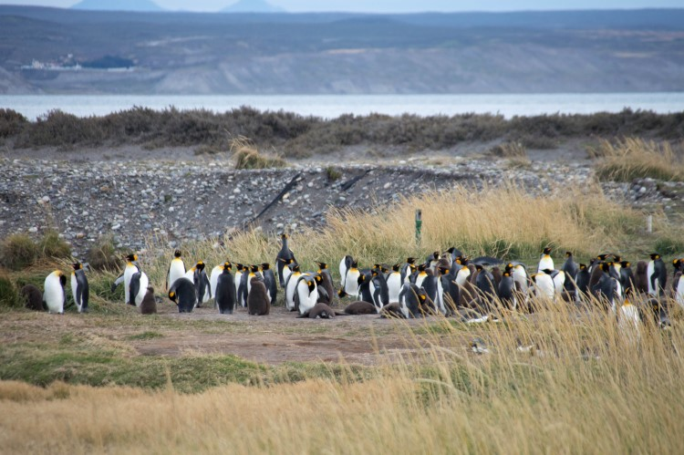 The King penguin of Bahia Inutil, an unmissable stop on your two-week Patagonia itinerary