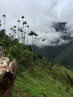 Views of wax palms in Parque Nacional Los Nevados Colombia