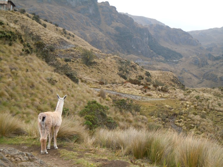 Llama in South America