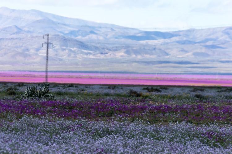 """The """"desierto florido"""" or """"flowering desert"""" phenoenon in Parque Nacional Llanos de Challe:, Chile."""