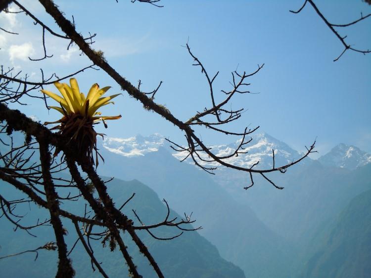 A bromeliad growing off a tree along the Choquequirao trek, Peru.