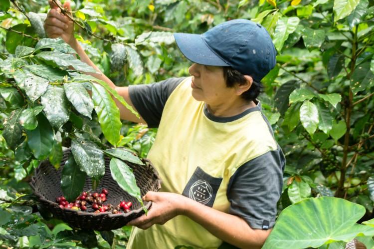 A coffee grower in the Rodriguez de Mendoza region near Chachapoyas Peru