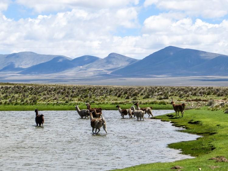 Alpacas in a lake in Bolivia near Tarija