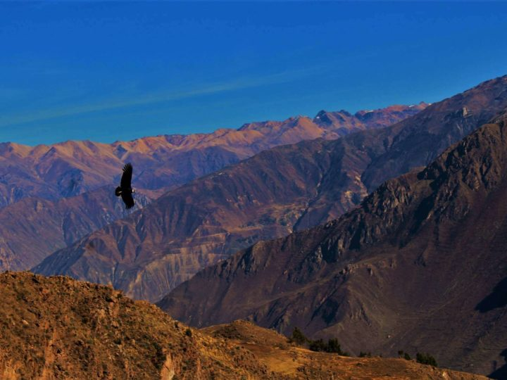 Andean condor soars over cliffs under a blue sky. Best Hikes in South America