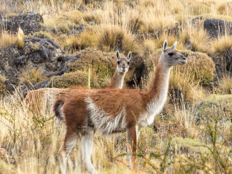 Guanaco in the grasslands in Patagonia National Park, along the Carretera Austral