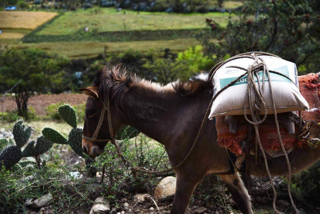 A friendly pack mule walking along the Inca Trail