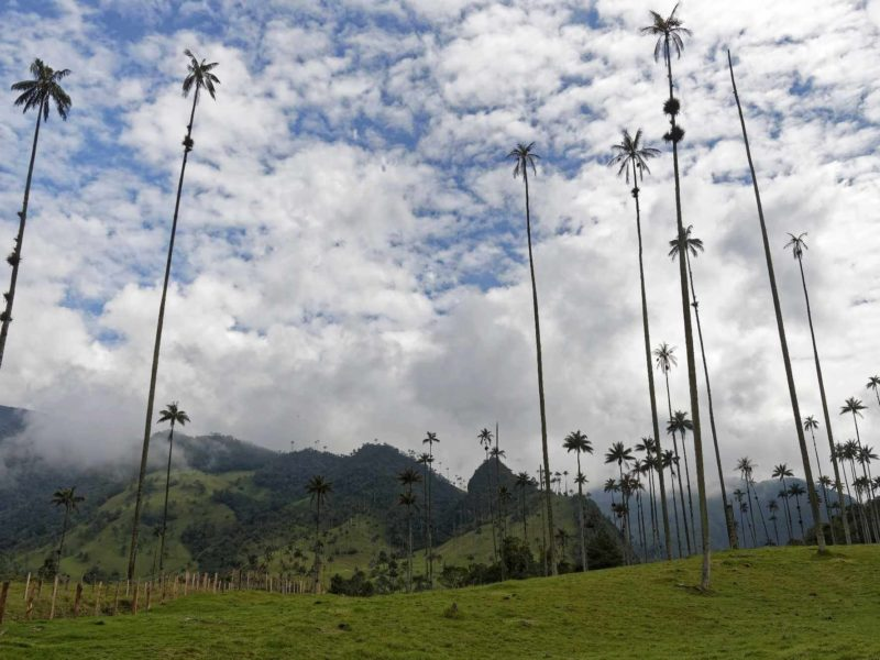 In Cocora Valley, the tallest palm trees in the world.