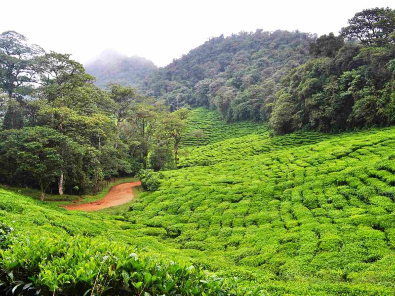 Colombian tea planted in the Rainforest.
