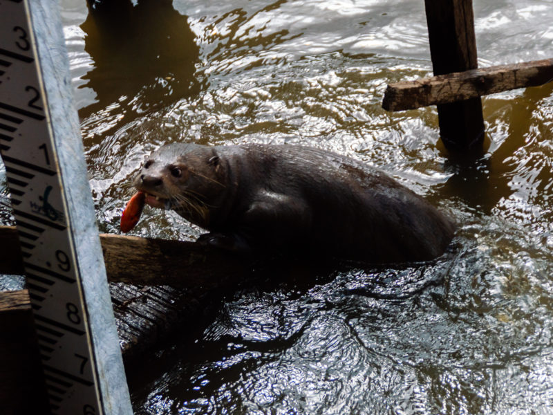 An otter with a fish in its mouth at Karanambu Lodge Guyana