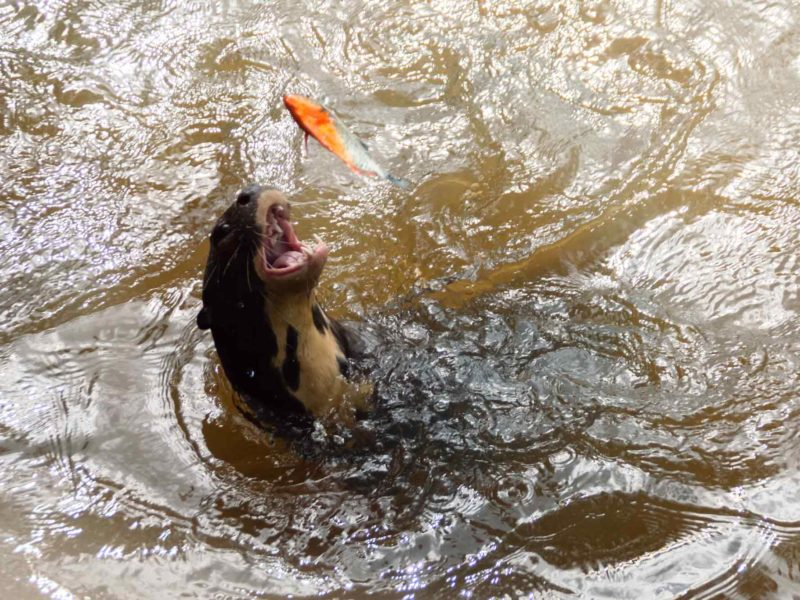 An otter throws up a fish in the water of the Rupununi River in southern Guyana, South America