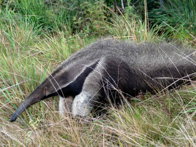 A giant anteater in the grassland plains of the Rupununi in Guyana, South America