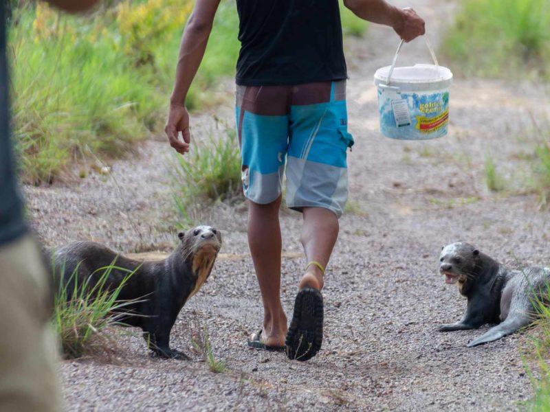 Two endangered giant river otters follow their keeper at Guyana's Karanambu Lodge - a fantastic tourist destination.