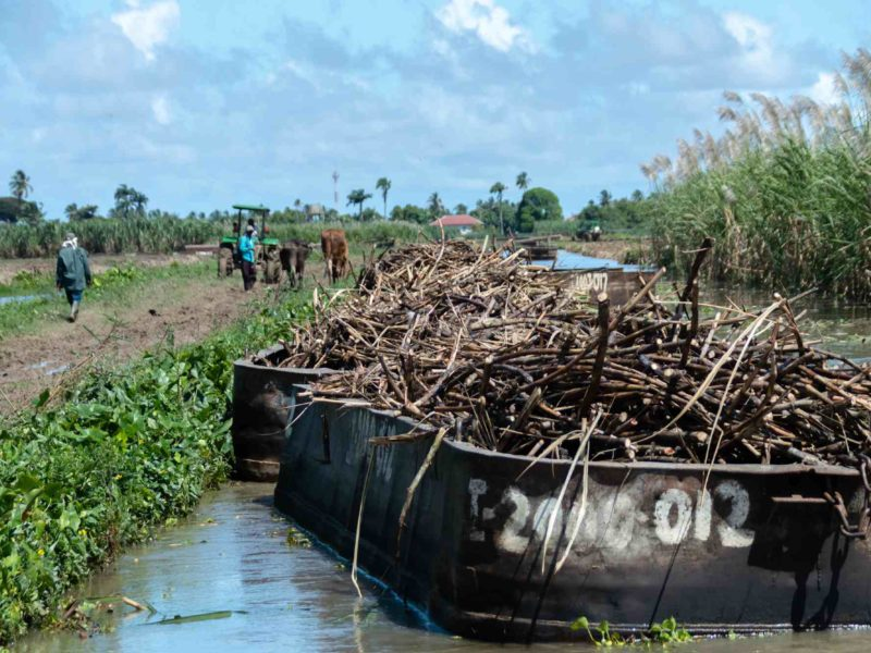 Barges filled with sugar cane stalks are tied in the canal at one of Guyana's last sugar plantations.