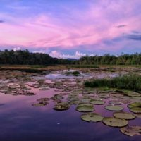 A violet sunset reflects in a lake filled with giant water lilies, one of the main tourist attractions of Guyana.