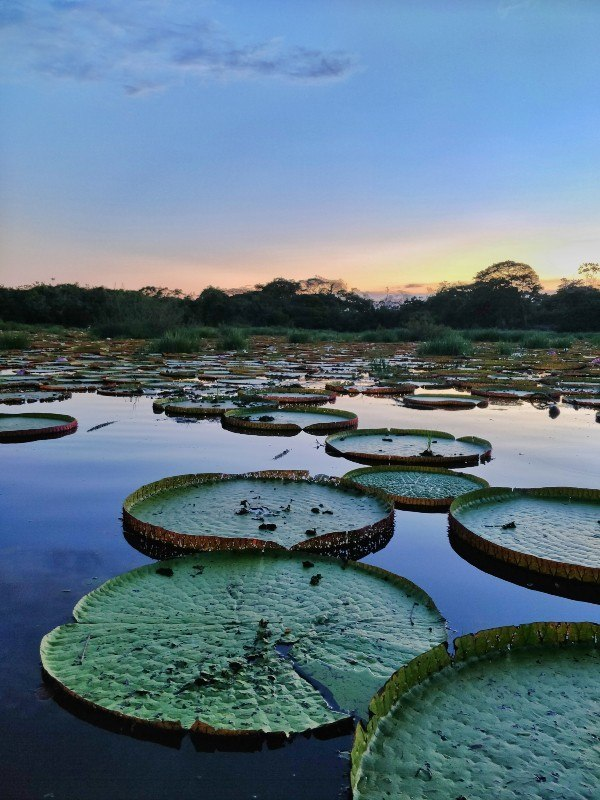 In Guyana the sun glows along the tree-lined horizon and is reflected in a lake covered in giant waterlilies.