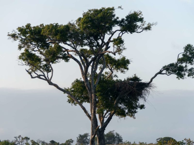 This solitary tree is the home to a massive harpy eagle nest in Guyana.