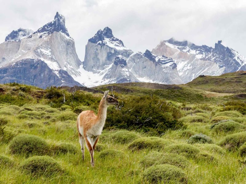 A guanaco poses in front of Los Cuernos in Torres del Paine National Park, Patagonia