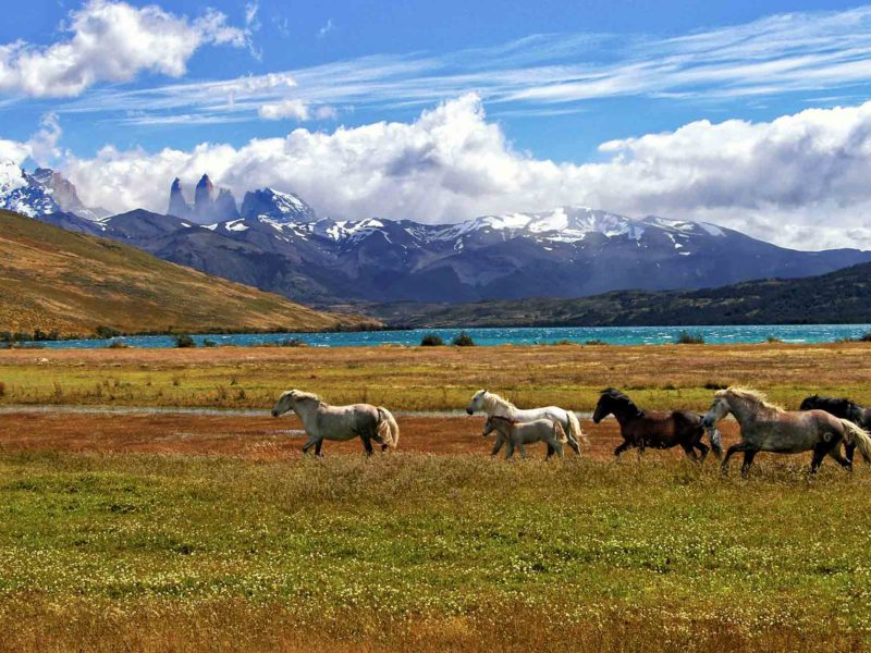 Wild horses run across the grasslands in Torres del Paine National Park, Patagonia
