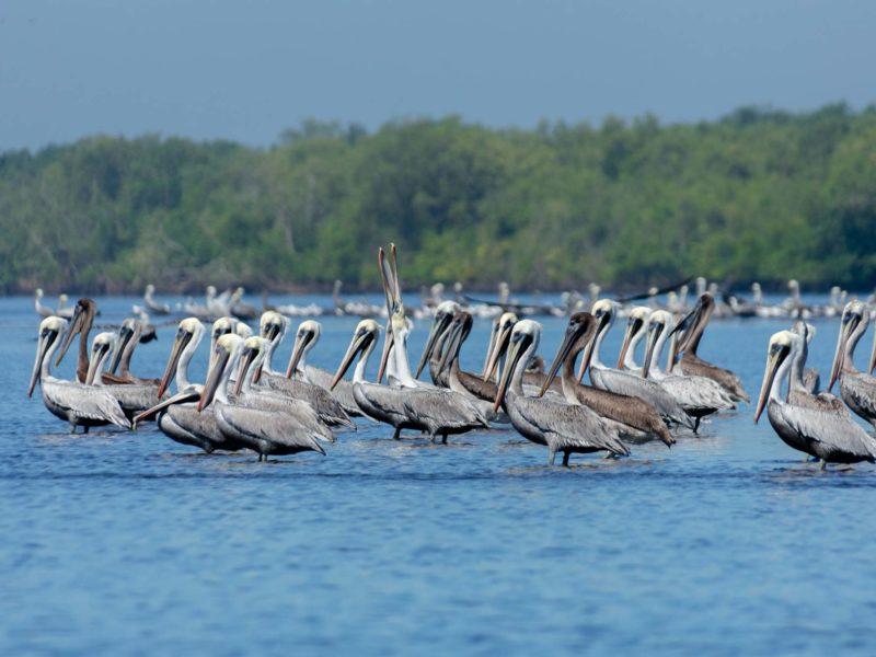 Pelicans on a beach at El Paredon in Guatemala
