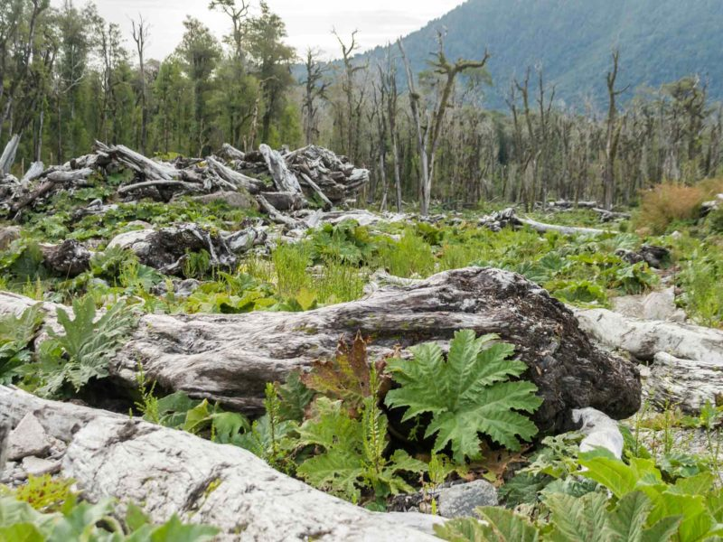 Charred tree stumps line the trail up to Volcan Chaiten in Parque Nacional Pumalin, a place for hiking in Patagonia