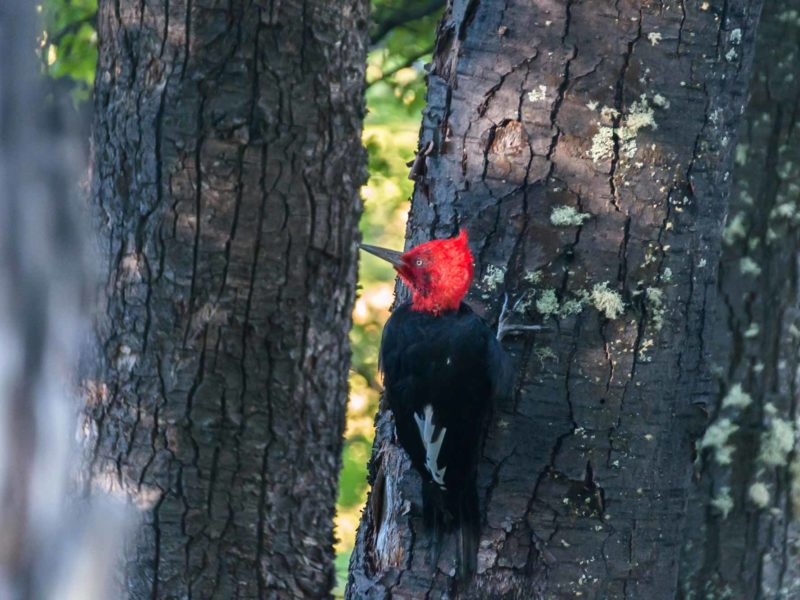 A Magellanic woodpecker in the trees in Patagonia