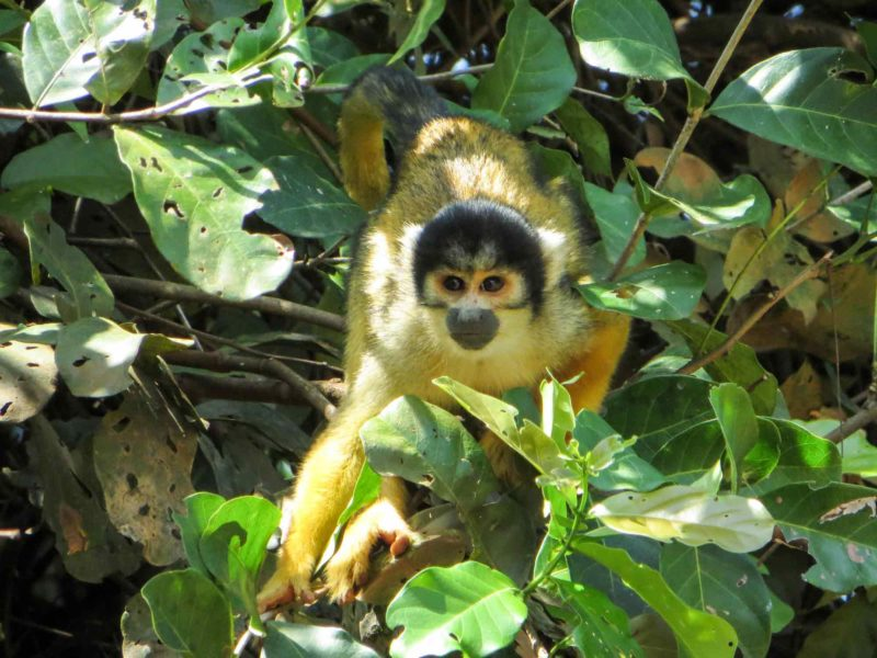 A squirrel monkey emerges out of the trees in Parque Madidi in Rurrenabaque, Bolivia