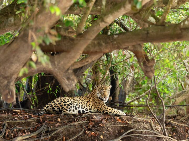 A fierce-looking Jaguar by a tree in Pantanal, Brazil, one of the remotest destinations to visit in South America.
