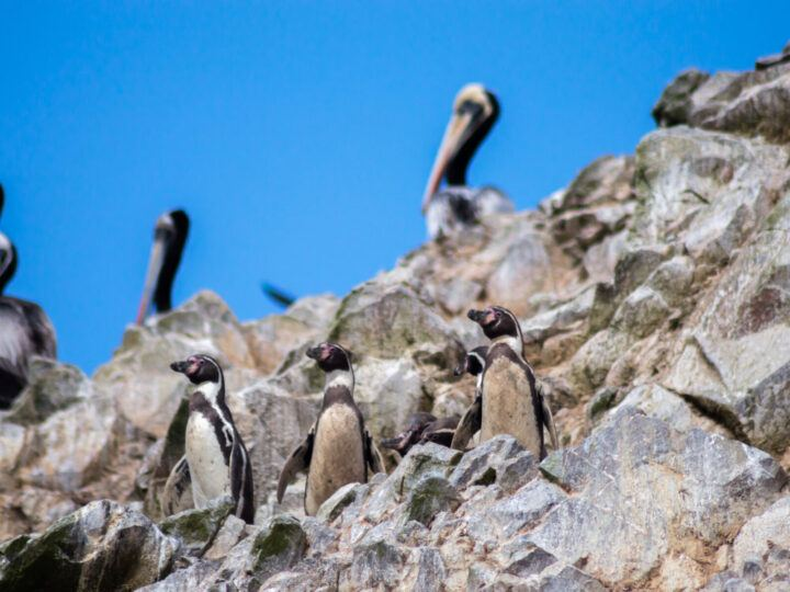 Humboldt penguins on a rock in the Ballestas Islands, a Peruvian destination that can be visited all year around